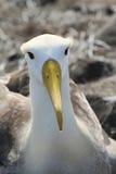 Waved albatross (Phoebastria irrorata) Stock Images