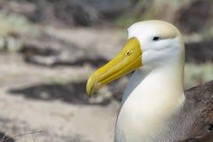 Waved albatross (Phoebastria irrorata) Royalty Free Stock Photo