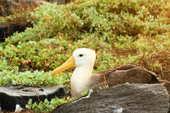 Waved albatross Royalty Free Stock Image
