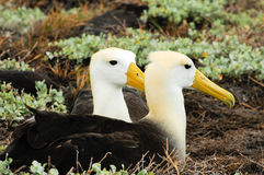 Waved albatross Stock Photos