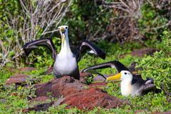 Waved albatrosses doing courtship ritual on Espanola Island, Galapagos National park, Ecuador. The waved albatross breeds primarily on Espanola Island stock photo