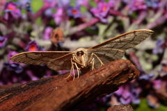 Waved riband  moth. Royalty Free Stock Images