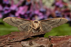 Waved riband  moth. Royalty Free Stock Photography