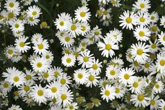 In waves and beautiful flower daisy background royalty free stock images