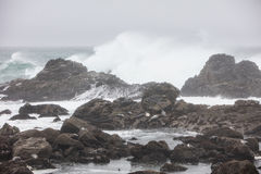 Waves Crashing Near Harbor Seals in California. Waves from the Pacific Ocean crash against the dramatic coastline of northern California where Harbor seals sleep Royalty Free Stock Photography