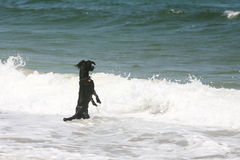 Waves and dog Stock Images