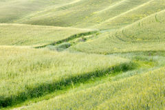 Waves of grass in Tuscany Royalty Free Stock Photos