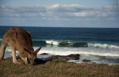 Waves & Kangaroo stock images