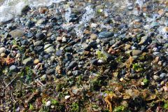 Waves left some seaweeds on a rocky beach. Waves left bubbles, seaweed, pebbles, and summer memories on a beach stock photo