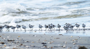 Waves and Many Shorebirds. Shorebirds running between the waves on a beach in South Carolina Royalty Free Stock Photography