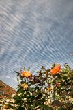 Waves and ripples in the sky altocumulus undulatus and colorful roses as foreground royalty free stock image