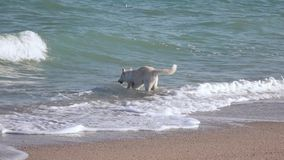 Dog in the surf of sea stock video footage