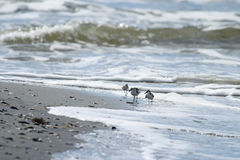 Waves and Shorebirds. Shorebirds running between the waves on a beach in South Carolina Royalty Free Stock Photo