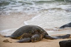 Waves Splattering on a Hawaiian Green Sea Turtle Royalty Free Stock Photography