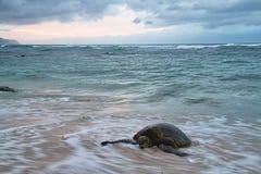 Waves Splattering on a Hawaiian Green Sea Turtle Royalty Free Stock Images