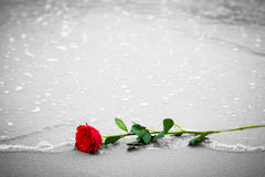 Waves washing away a red rose from the beach. Color against black and white. Love Stock Image
