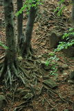 Waving braided roots. In forest Stock Photography