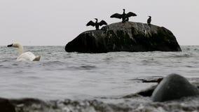 Waving cormorants in East Sea, Göhren, Germany stock video footage