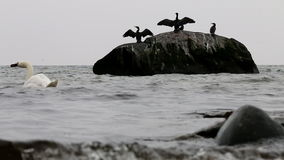 Waving cormorants in East Sea, Göhren, Germany stock video footage