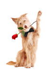 Waving dog with red rose isolated Stock Photo