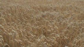 Waving grain stock video