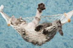 Waving La perm kitten in hammock. La perm kitten in miniature hammock on blue background Stock Photos