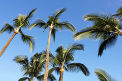 Waving palm trees Stock Photography