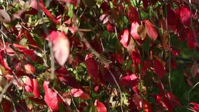 Waving red leaves stock video