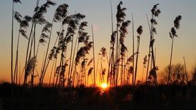 Waving reed stock footage
