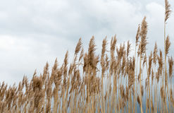 Waving reeds and a cloudy sky Stock Photo