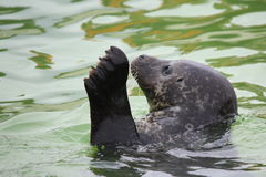 Waving seal Royalty Free Stock Photography