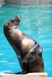 Waving seal Royalty Free Stock Photos