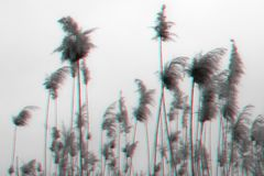 Waving the seeds of reeds in the glitch effect. Reed by the river on the background of blue sky stock images