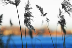 Waving stems of reed in winter against Royalty Free Stock Photos