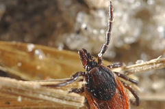 Waving tick. Tick waving for a host Royalty Free Stock Image