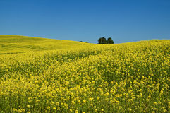 Wavy blooming rape fields, rising to the horizon Royalty Free Stock Photography