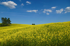Wavy blooming rape fields, rising to the horizon Stock Images