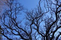 Wavy branches of robinia pseudoacacia in winter. Wavy branches of robinia pseudoacacia tree in winter Stock Image