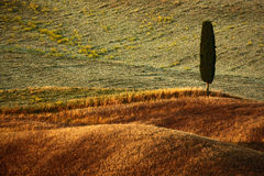 Wavy breown hillocks with alone solitaire cypress tree, sow field, agriculture landscape, Tuscany, Italy Royalty Free Stock Images