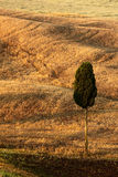 Wavy brown hillocks with solitaire cypress tree, sow field, agriculture landscape, Tuscany, Italy Royalty Free Stock Photo
