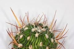 Wavy-edged cactus Stock Images