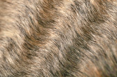 Wavy Fur Macro. A macro shot of wavy hair of a Cornish Rex cat Royalty Free Stock Photography