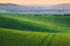 Wavy green fields.  Striped rolling sunny hills at sunset Stock Images