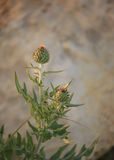 Wavy-leaf Thistle Royalty Free Stock Photography