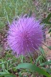 Wavy Leaf Thistle Royalty Free Stock Photo