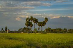 Wavy palm line among rice fields in Siem Reap, Cambodia royalty free stock photo