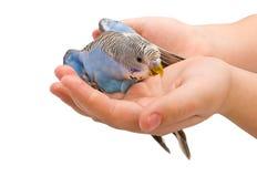 wavy papegoja Royaltyfri Fotografi
