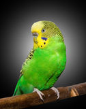 Wavy parrot Stock Images