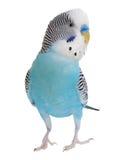 Wavy parrot Stock Photo