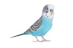 Wavy parrot Stock Photos